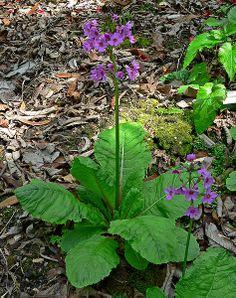 Prvosenka - Petrklíč (Primula)