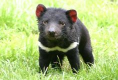 Tasmanian Devil. He's kind of cute. Course, he's really mean and has strong, sharp teeth!