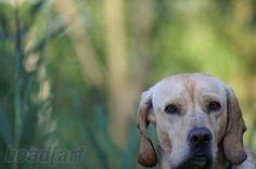 My street dog nice  pic by boad[art#dog #hybriddog #americangointer