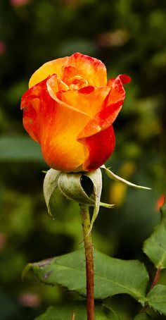 The Orange Rose ~ evokes energy, desire and excitement.