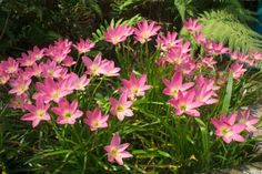 zefírvirág Rain Lily, Natural, Flowers, Plants, Garden Ideas, Gardens, Sun Rays, Outdoor Gardens, Plant