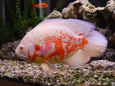 albino tiger oscar cichlid - I just got one of these today. Scott and I named him Harry Belafonte.