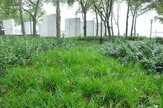 Carex muskingumensis - Palm Sedge