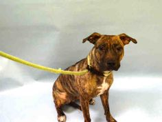 Urgent Manhattan - DUCKEE - #A1100678 - FEMALE BR BRINDLE/WHITE AM PIT BULL TER MIX, 4 Yrs - STRAY - NO HOLD Reason STRAY - Intake 12/29/16 Due Out 01/02/17 - VERY TENSE, SHOWING TEETH TRYING TO BITE