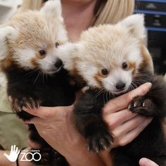 Twin Unnamed Baby Red Pandas Play, Sleep, Eat and Snuggle Together at the…