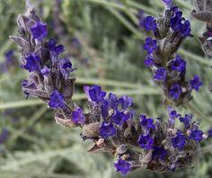 The 2 Minute Gardener: Photo - Goodwin Creek Grey Lavender (Lavandula sp. Provence Lavender, Lavender Garden, Lavender Varieties, Drought Tolerant Garden, Italian Garden, Lavandula, Cool Plants, Cut Flowers, Flower Beds