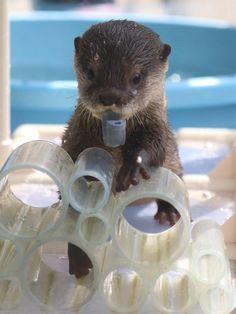 """I gots dis piece of pipe and I gonna build sumthin' but I needs you get me a wrench. Animals And Pets, Baby Animals, Funny Animals, Cute Animals, Baby Giraffes, Wild Animals, Otters Cute, Baby Otters, Animal Pictures"