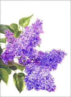 Lilac Blossom by Janie Pirie (coloured pencil)