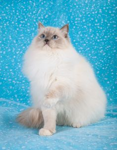 Blue Mitted Ragdoll Cat