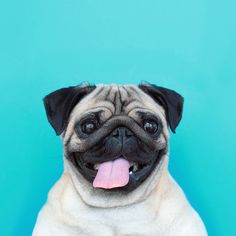 Because I'm happy ! Loulou the pug