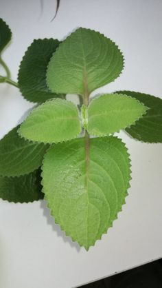 Mojito, Detox, Herbalism, Plant Leaves, Herbs, Drinks, Plants, Gardening, Fitness