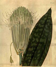9700 Sansevieria longiflora Sims / Curtis's Botanical Magazine, t. 2607-2704, vol. 53: t. 2634 (1826) [J. Curtis]