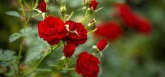 Je vám líto vyhodit kytici růží? Zachraňte je pomocí brambory