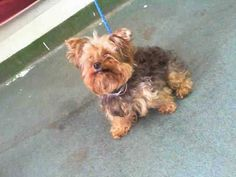 IF YOU ARE FB PLEASE SHARE/PLEDGE HARDLY ANY SHARES URGENT at KILL Shelter Miami - LINDA  (A1587106) I am a female black and tan Yorkshire Terrier.   The shelter staff think I am about 11 years old.   I was found as a stray and I may be available for adoption on 01/19/2014 — : Miami Dade County Animal Services. https://www.facebook.com/photo.php?fbid=702300579804348&set=a.217775651590179.64764.191859757515102&type=3&theater #yorkshireterrier