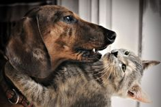 Solid-Faced Canvas Print Wall Art Print entitled Kitty sharing a hug with a Dashshund Wall Art Prints, Poster Prints, Canvas Prints, Dachshund Dog, Dog Cat, Gemini Personality, Cute Little Kittens, Love Me Like, Get Over It