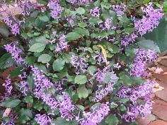 My Dry Tropics Garden: Plectranthus Mona Lavender