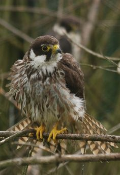 HOBBY.The Eurasian hobby is a small, slender falcon that hunts on the wing, often at dusk, using its rapid and acrobatic flight to out-manoeuvre even the most agile prey. The diet consists mainly of flying insects, which are usually eaten in flight, as well as small birds.It typically inhabits relatively open areas with some trees, such as open woodland, forest or river edges.Hobbies are migratory, wintering in central and southern Africa and southern Asia