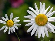 Resultado de imagen de flor matricaria