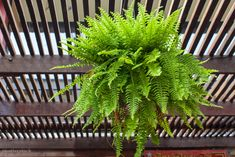 Ferns provided with proper light, humidity, water and regular applications of fertilizer grow well indoors in hanging pots. Hanging Ferns, Hanging Pots, Boston Ferns Care, Hardy Geranium, Best Perennials, Pot Jardin, Pink And White Flowers, Heuchera, Unique Plants