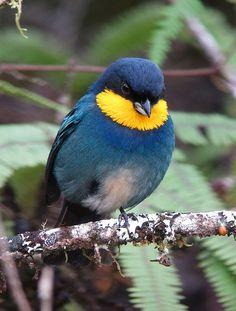 (Purple-mantled Tanager) Bellezas de la creación de Dios