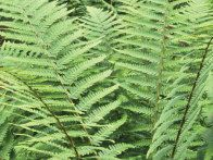 Golden Male Fern:  Dryopteris affinis; Slightly shorter than the standard filix-mas, with a dark spot where each pinna (part of the frond) joins the golden-brown midrib. H 36 in (90 cm); S 36 in (90 cm). Photo by Dorling Kindersley Limited 2008