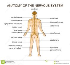 Anatomy Of The Nervous System Anatomy Of The Nervous System Stock Vector – Image 58914388