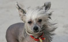 Chinese Crested Dog Wallpaper #13520