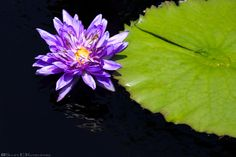 """Tropical Day-flowering Waterlily - """"King of Siam""""  #Beauty #Bloom #Blooming #Blossom #Calm #Exotic #Floral #Flower #FlowerBotanical #Lily #LilyPond #Natural #Nature #Nymphaea #Pad #Peace #Petal #Plant #Pod #Pond #Purple #Reflection #Serenity #Symbol #Tranquil #Tropical #TropicalDayFloweringWaterlily #Water #Waterlily"""