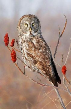 Great Gray Owl by Kurt Budliger on / birds on imgfave Beautiful Owl, Animals Beautiful, Strix Nebulosa, Great Grey Owl, Owl Photos, Owl Art, Birds Of Prey, Nocturne, Wild Birds