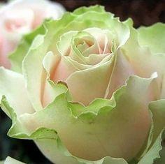 20 семена китай редкие танцы королева розы семена купить на AliExpress