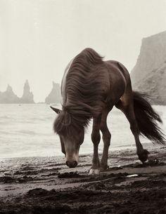 Icelandic Horse on beach in Iceland, Photo Credit ~ Gigja Einarsdottir All The Pretty Horses, Beautiful Horses, Animals Beautiful, Cute Animals, Beautiful Gorgeous, Icelandic Horse, Majestic Horse, Tier Fotos, Horse Photos