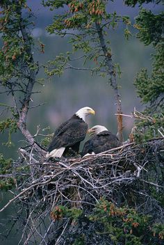 birds-and-baking: Bald Eagle pair on nest, Alaska (by Michael Quinton — FINEARTAMERICA)