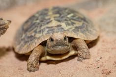 Pancake tortoise (Malacochersus tornieri) one day I'll go live my dream and help these little critters. Tortoise Habitat, Baby Tortoise, Sulcata Tortoise, Tortoise Care, Tortoise Turtle, Turtle Names, Animals Beautiful, Cute Animals, Russian Tortoise