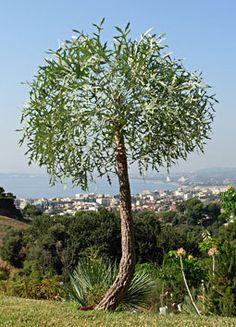 Cussonia_Gamtoosensis Gamtoos Cabbage Tree Gamtooskiepersol S A no Succulents Garden, Garden Plants, Dr Seuss Trees, African Tree, Garden Trees, Back Gardens, Botanical Gardens, Beautiful Gardens, Gardening Tips