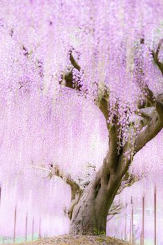 - save your breath - lifeisverybeautiful: Wisteria, Ashikaga Flower Park, Tochigi, Japan via αcafe Beautiful World, Beautiful Places, Wisteria Garden, Purple Wisteria, Magic Garden, Colorful Trees, Blossom Trees, Cherry Blossom Tree, Flowering Trees