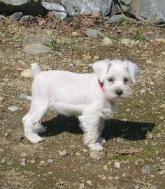 Toy Miniature Schnauzers | Solid White body with black nose, pads and brown eyes.