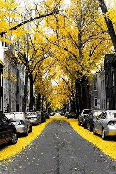 Yellow Ginko Tree Leaves in Washington DC by SushiRee