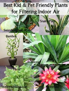 """Plants that filter the air. ........Aloe Vera (also great for burns)Spider plant (Chlorophytum comosum) – Very resilient and it produces runners (smaller plants) that can be transplanted.Snake plant (Sansevieria trifasciata 'Laurentii') Also called """"Mother in Law's Tongue"""" – """"This plant is one of the best for filtering out formaldehyde, which is common in cleaning products, toilet paper, tissues and personal care products. Put one in your bathroom — it'll thrive with low light and steamy…"""