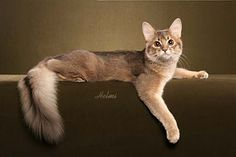 Somali cat is a longhaired Abyssinian cat.