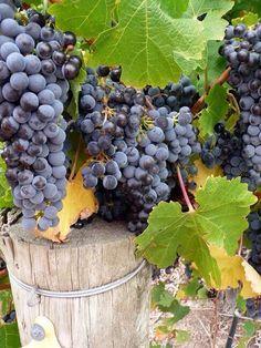 grapes / uvas