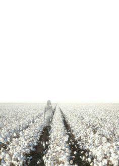 Fields of cotton.
