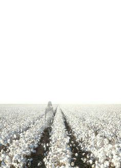 Fields of cotton.
