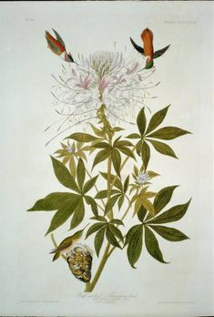 Global Gallery 'Ruff Necked Hummingbird' by John James Audubon Painting Print on Wrapped Canvas Size: Painting Prints, Fine Art Prints, Audubon Birds, Audubon Prints, Hummingbird Art, Birds Of America, John James Audubon, Bird Prints, Botanical Art
