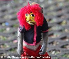 A captive monkey dressed in a mask performs in Jakarta, Indonesia, as part of the Topeng Monyet (Monkey's Mask) show