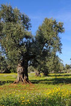 """Allarme ulivi in Salento. Il batterio """"Xylella fastidiosa"""" sta distruggendo intere coltivazioni"""