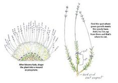 Gardening Flowers How to prune lavender: Keep lavender healthy and lush with this pruning how-to. - Keep lavender healthy and lush with this pruning how-to. Plants, Growing Lavender, Flowers, Lavender Pruning, Planting Herbs, Lavender Garden, Container Gardening, Lavender Farm, Lavender Plant Care