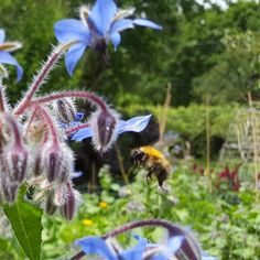 Bees love borage 💙 and so do I! Such a delicate flower, with an energy to lift your heart to a light place. My organic flower farm here is filled with wildlife in all seasons.