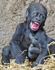 insolite bebe chatouille gorille sourire