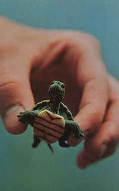 Tiny Turtle. Perhaps one day when he becomes a teenager, Hell mutate into a ninja. michellejeannin