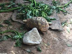 #Turtle, tartaruga di terra, animali magnifici